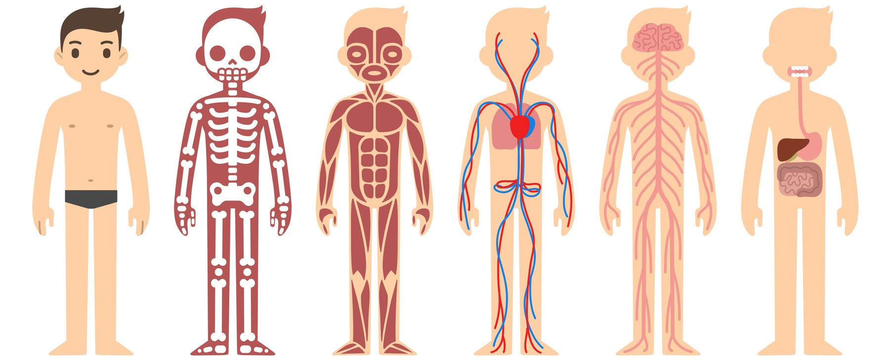 Stylized Male Body Anatomy Chart Skeletal Muscular Circulatory